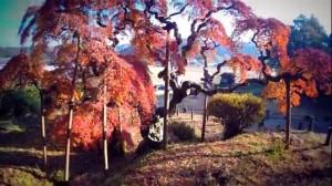 0064.福島県 中釜戸のシダレモミジ2