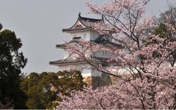 兵庫県 明石公園 近畿地方の桜の...
