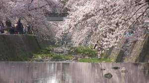 0073.兵庫県 夙川河川敷緑地2