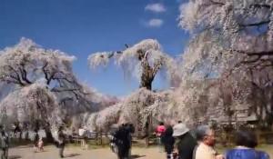 0120.群馬県 清雲寺のしだれ桜2