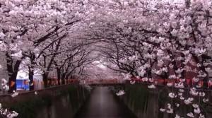0127.東京都 目黒川の桜並木2