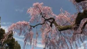 0110.福島県 妙関寺の乙姫桜2