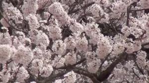 0108.福島県 石部桜2