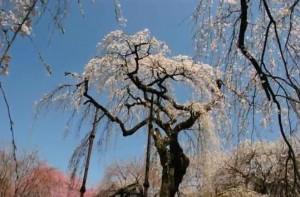 0120.群馬県 清雲寺のしだれ桜3