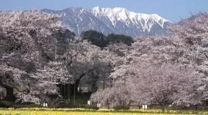 0137.山梨県 山高神代桜3