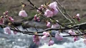 0083.島根県 斐伊川堤防桜並木2