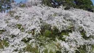 0136.福井県 霞ケ城公園(丸岡城)1
