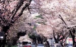 0031.栃木県 日光街道桜並木2