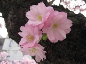 0043.富山県 高岡古城公園3