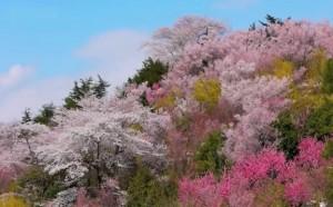 0106.福島県 花見山2