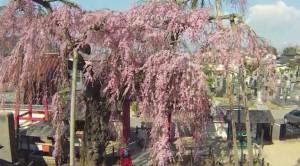 0110.福島県 妙関寺の乙姫桜1