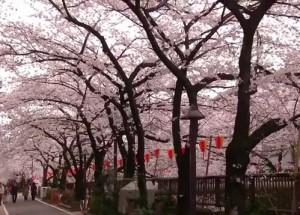 0127.東京都 目黒川の桜並木3