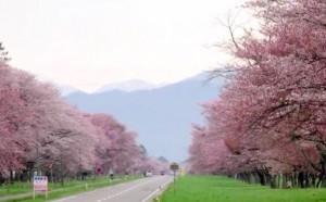 0018.北海道 静内二十間道路桜並木2
