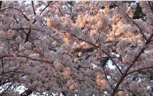 0008.神奈川県 小田原城址公園1