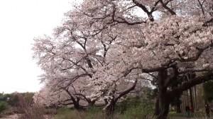 0132.東京都 神代植物公園3