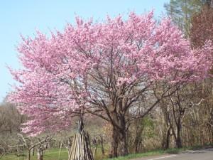 0104.青森県 世界一長い桜並木3