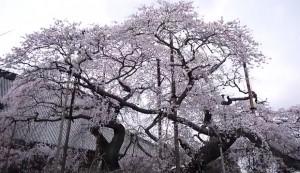 0116.茨城県 般若院の枝垂桜2