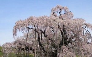 0027.福島県 三春滝桜1