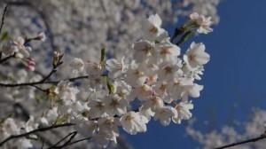 0009.群馬県 赤城南面千本桜3