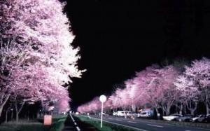 0018.北海道 静内二十間道路桜並木3