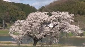 0083.島根県 斐伊川堤防桜並木1