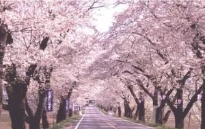 0031.栃木県 日光街道桜並木3