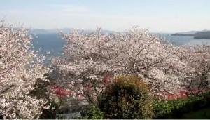 0096. 熊本県 水俣市チェリーライン(湯の児チェリーライン)2