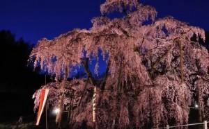 0027.福島県 三春滝桜4