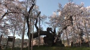 0137.山梨県 山高神代桜2
