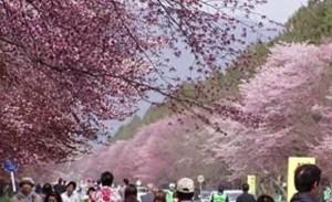0018.北海道 静内二十間道路桜並木4