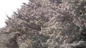 0034.埼玉県 熊谷桜堤3