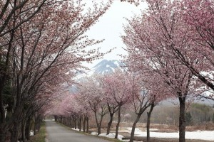 0104.青森県 世界一長い桜並木1
