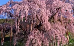 0027.福島県 三春滝桜3