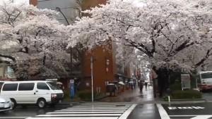 0160.東京都 国立市 大学通り・さくら通り2