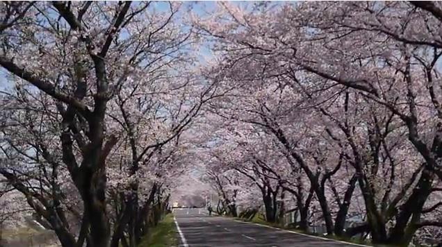 岐阜県 新境川堤 中部地方の桜の花見名所 | Feel 55