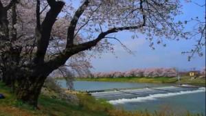0015.宮城県 白石川堤一目千本桜4